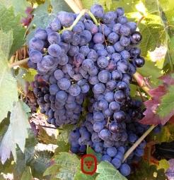 Uvas de Vendimia